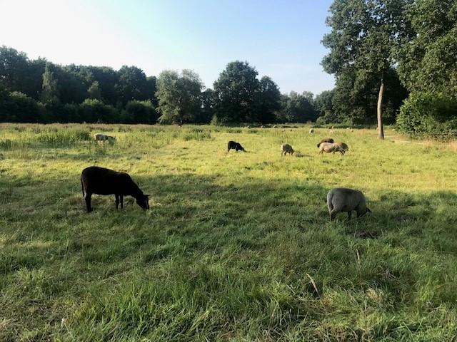 schapen zwart schaap natuur drenthe
